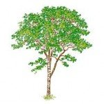 árvore complexa em vista – bloco cad dwg (13)